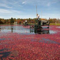 Cranberrie Harvest